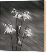 Ethereal Columbine Monochrome Wood Print