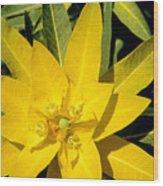 Euphorbia Wallichii Wood Print