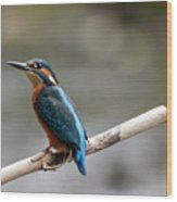 Eurasian Kingfisher Wood Print