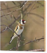 European Goldfinch 2 Wood Print