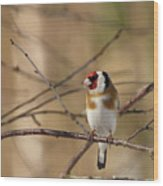 European Goldfinch 3 Wood Print