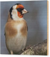 European Goldfinch Bird Close Up   Wood Print