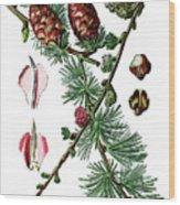 European Larch, Pinus Larix Wood Print