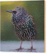 European Starling - Painted Wood Print