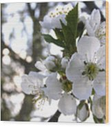 Evening Show - Cherry Blossoms Wood Print