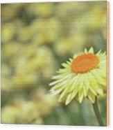 Everlasting Daisy Wood Print