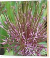 Evolving Allium Wood Print