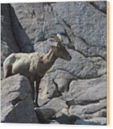 Ewe Bighorn Sheep Wood Print