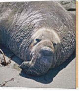 Exhausted Elephant Seal Wood Print