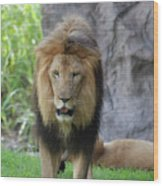 Expressive Male Lion Prowling Around In Nature Wood Print