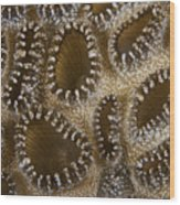 Extreme Close-up Of A Crust Anemone Wood Print
