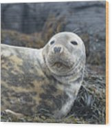 Face Of A Gray Seal Wood Print