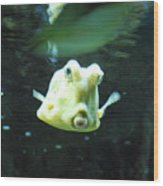 Face Of A Horned Boxfish Swimming Underwater Wood Print