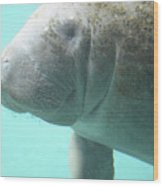 Face Of A Manatee Swimming Underwater Wood Print
