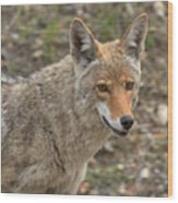 Face Of The American Coyote Wood Print