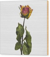 Faded Rose Flower Wood Print