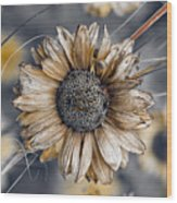 Fading Oxeye Wood Print
