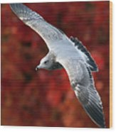 Fall Gull Wood Print