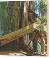 Fallen Redwood Trees Forest Wood Print