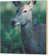 Fallow Deer Fawn Wood Print