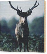 Fallow Deer Male Wood Print