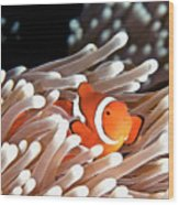 False Clown Anemonefish Wood Print by Copyright Melissa Fiene