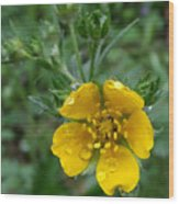 Fan-leaf Cinquefoil At Trillium Lake Wood Print