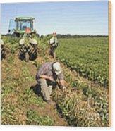 Farmer Inspects Peanut Field Wood Print