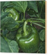 Farming Green Peppers Wood Print
