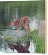 Fawn At The Water Hole Wood Print