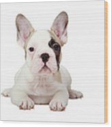 Fawn Pied French Bulldog Puppy Wood Print