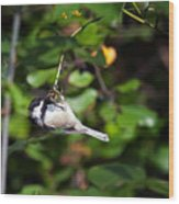Feeding Black-capped Chickadee Wood Print
