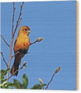 Female Baltimore Oriole Wood Print