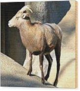 Female Bighorn Sheep Ewe Wood Print