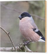Female Bullfinch Wood Print