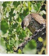 Female Cooper's Hawk Feeding Wood Print
