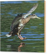 Female Duck Landing Wood Print