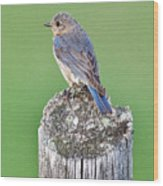 Female Eastern Bluebird 4479 Wood Print