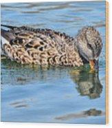 Female Gadwall Duck  Wood Print