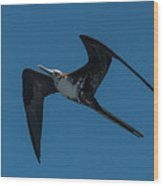 Female Great Frigatebird Flyng Overhead Near Fernandina Island Galapagos Islands Wood Print
