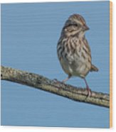 Female House Finch Resting Wood Print