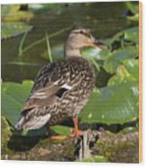 Female Mallard Among Lily Pads Wood Print