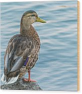 Female Mallard At The River Wood Print