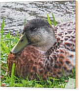 Female Mallard Duck Resting 4 Wood Print
