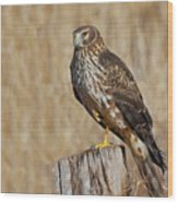 Female Northern Harrier Standing On One Leg Wood Print