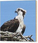 Female Osprey Wood Print