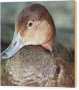Female Redhead Duck Wood Print
