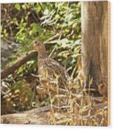 Female Ring-necked Pheasant - Phasianus Colchicus Wood Print