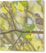 Female Rose-breasted Grosbeak Wood Print