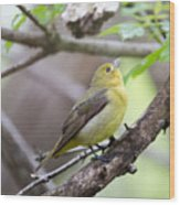 Female Scarlet Tanager Wood Print